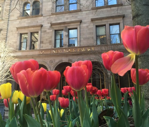 Tulips Lotte New York Palace Courtyard